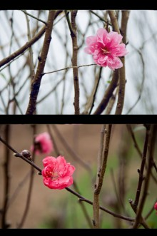 happy new year with cherry blossom